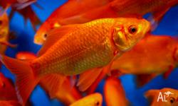 17 cm long healthy goldfish are available for sale.