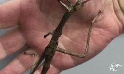 We have beautiful Goliath Stick insects in stock. Must