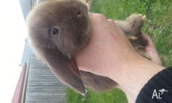 Pure Mini Lop Babies 3 Chocolate Self, 2 Chocolate