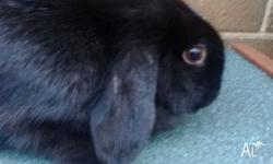 Female mini lop rabbit for sale!! She is almost 1 year