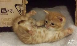 Gorgeous ginger kittens; male and female; tiny; some