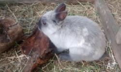 We have 3 male rabbits for sale - you can purchase all