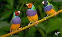 GOULDIAN FINCH JUST $39.99 At beenleigh pet and produce
