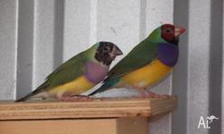 "I have for sale 3 young gouldian finches "" not coloured"