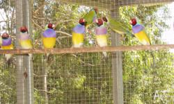Gouldian finches ready for this breading season.