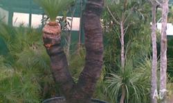 Grass Tree Double Double headed grass tree approx 2mtrs