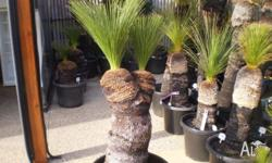 Native Grass Tree - Black Boy for sale. Double headed