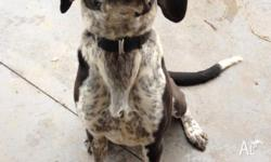 'Louie' Coonhound x Mastiff/GreatDane 1 1/2 years old,