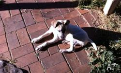 Great Dane x bull Arab female only 4 months old,