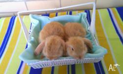 Hi, i have for sale 3 handsome baby purebred dwarf lop