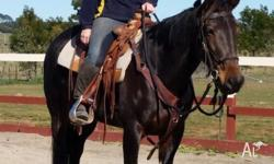 Sapphire is an 8 year old standardbred mare who retired