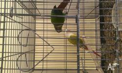 2 breeding pair of greencheek for sale, 1 pineapple and