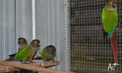4 Male Green Cheek conure with DNA certificate $130