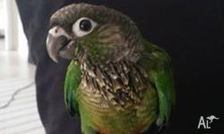 Hand raised green cheek conures looking for their