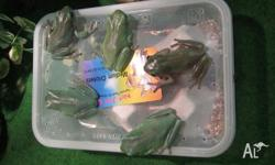 Green tree frogs $35ea or to for $60.. Great size. Pets