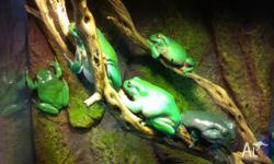 We have some Sub to Adult Green Tree Frogs For sale,