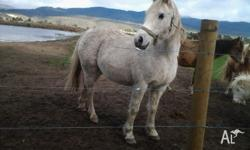 Laddie is a 11yr old welsh x whaler pony, roughly