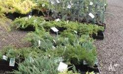 Ground Cover Conifers Many varieties and sizes