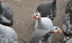 WE HAVE FOR SALE 10 GUINEA FOWL APROX 25 WEEKS $20