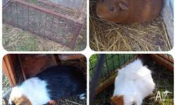 Guinea Pig package. * 1 male * 2 females * 1 cage * 1