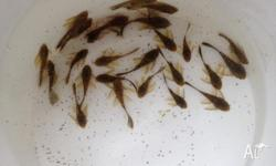Mixed Guppies, Endler�s and hybrids 2-4cm 100 for