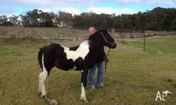 Gypsy cob X Standardbred Gelding for sale. Lovely quiet