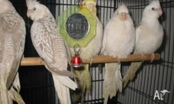Hand raised cockatiels. A few months old. Mostly in
