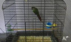 For sale hand raised green check conure , cage and play