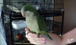 CUTE AND FRIENDLY HAND RAISED GREEN QUAKER EATING SEED