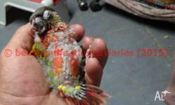 HAND RAISED BIRDS STARTING FROM $60 HURRY AND GET YOUR