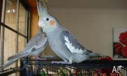 Really nice quiet non biting Cockatiels, fully weaned