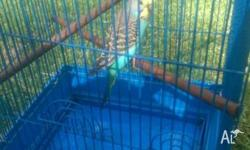 Hand tamed baby budgie very friendly great with kids