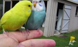 Hi Folks, I have some baby budgies all lovingly HAND
