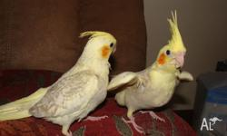 Two 10 week old handraised baby cockatiels. Possibly