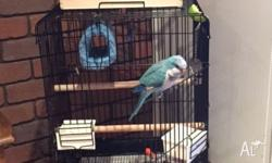 1 year old female (DNA certified) Quaker Parrot for