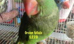 Baby Handraised Indian Ringneck Colour: Green Sex: