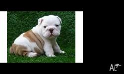 Handsome Male English Bulldog Puppy. Judge is a fawn