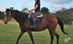 Handsome Thoroughbred gelding 16.2hh 15 years. Lovely
