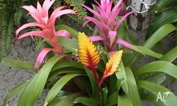 Have just recently dug up some healthy bromeliads - not
