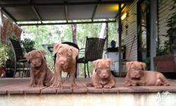 Gorgeous Healthy pitbull x puppies (the father is