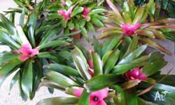 Single Bromeliads $10, Bromeliads which can be