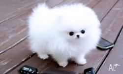 Healthy Teacup Pomeranian Puppy Males and Females