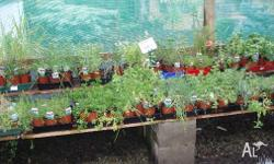 Herbs many varieties available in10cm pots $2.50 Each