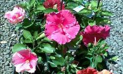 Hibiscus many colours available in 15cm pots $10.00