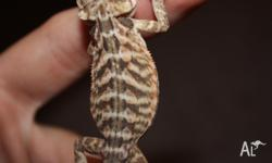 6 Leatherbacks bearded dragons for sale hatched