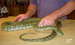 We have juvenile high yellow Diamond Pythons for sale