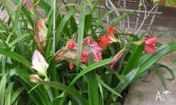 2 x LARGE READY TO FLOWER BULBS - 1 Hippeastrum & 1