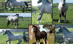 Homozygous black, Bay Roan 1/2 Clydesdale x 1/2 Qh mare