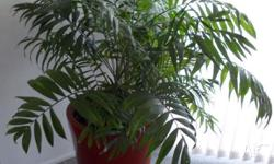 House Indoor Palm Plant Chamaedorea Elegans Very