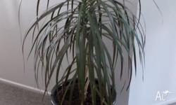 House Indoor Plant Dracaena Black Night More than 1m